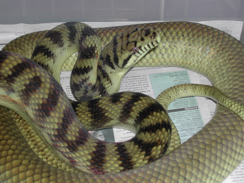Scrub python ( Morelia amethystina) 00310