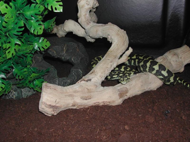 un petit mâle Ms cheynei de 2007 00316