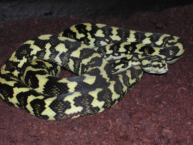 un petit mâle Ms cheynei de 2007 00415