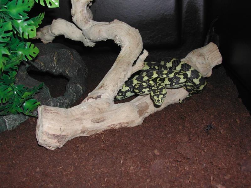 un petit mâle Ms cheynei de 2007 00612