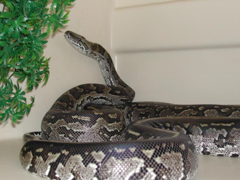 Python natalensis 00710