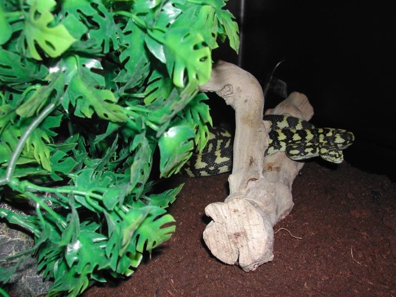 un petit mâle Ms cheynei de 2007 00714