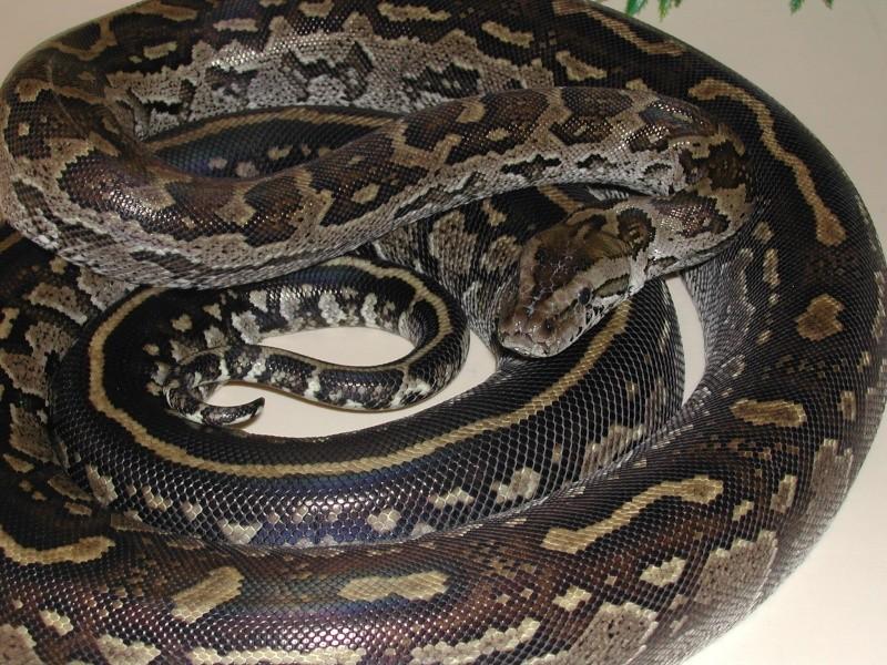Python natalensis 00910