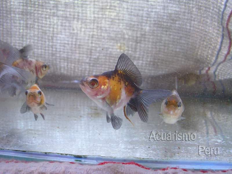 CRIADERO DE CESAR CASTRE (locogoldfish) Img_6810