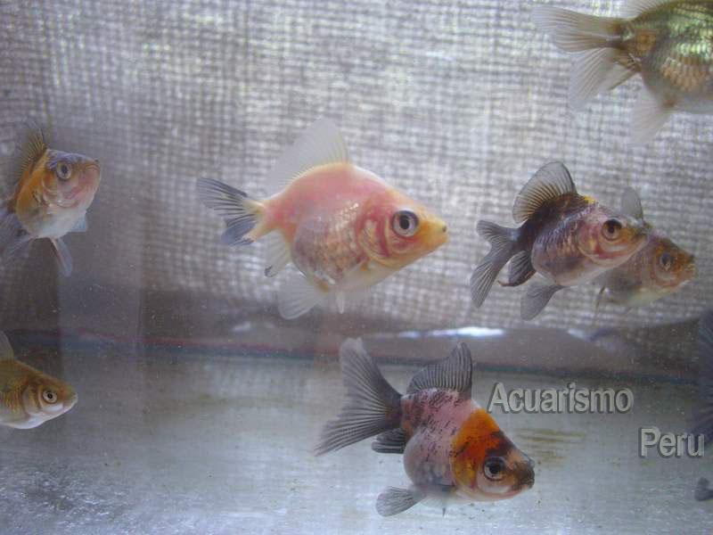 CRIADERO DE CESAR CASTRE (locogoldfish) Img_6811