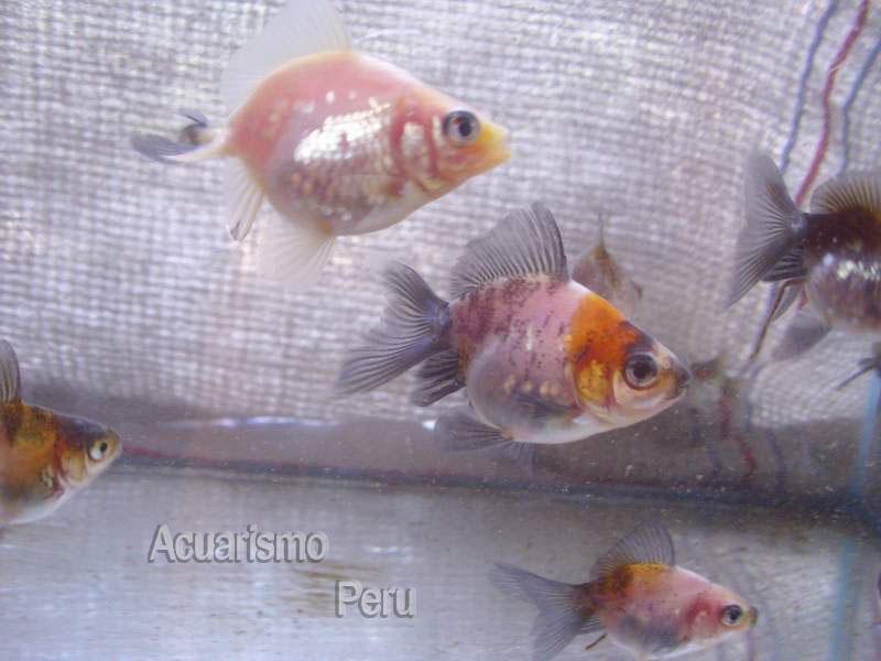 CRIADERO DE CESAR CASTRE (locogoldfish) Img_6812