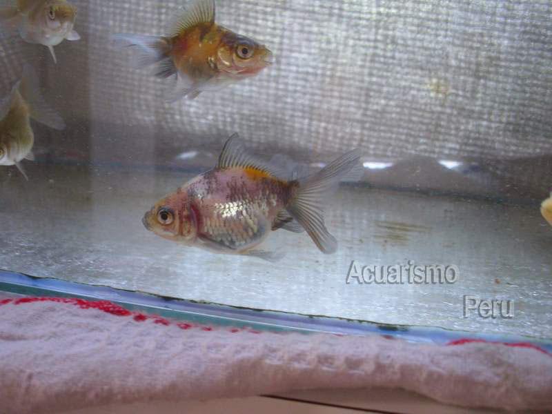 CRIADERO DE CESAR CASTRE (locogoldfish) Img_6813