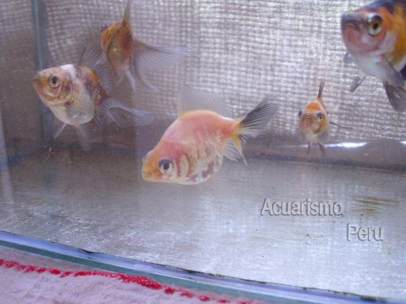 CRIADERO DE CESAR CASTRE (locogoldfish) Img_6814