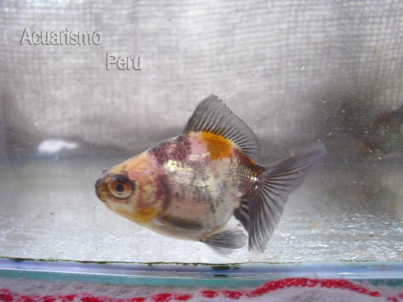 CRIADERO DE CESAR CASTRE (locogoldfish) Img_6815