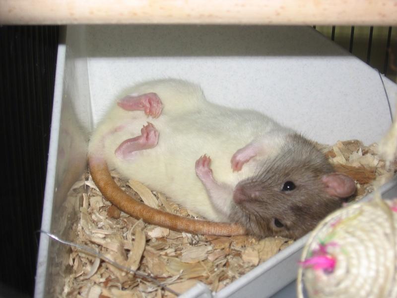 Rat qui dort sur le dos Mes_de13