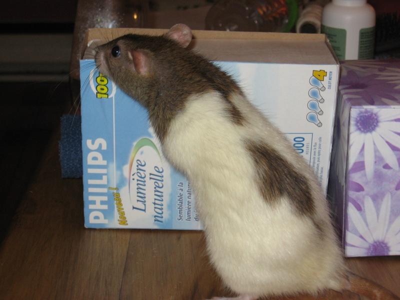Les différents marquages du rat Rats_015