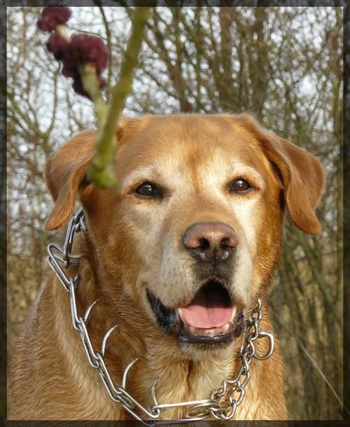 Mon Labrador, mon meilleur ami ! Le_reg10