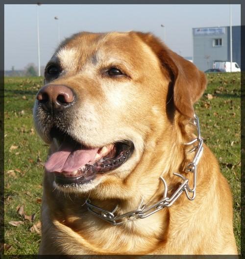 Mon Labrador, mon meilleur ami ! P1000010