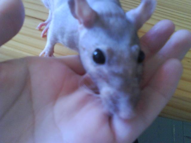 Alphonse X Pupuce (rats nus) Dsc00623