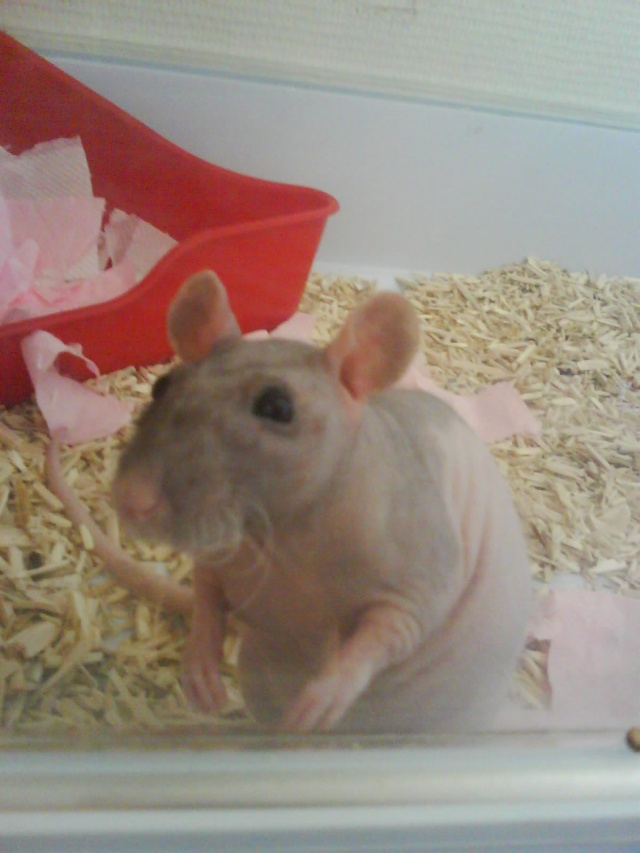 Alphonse X Pupuce (rats nus) Dsc00722