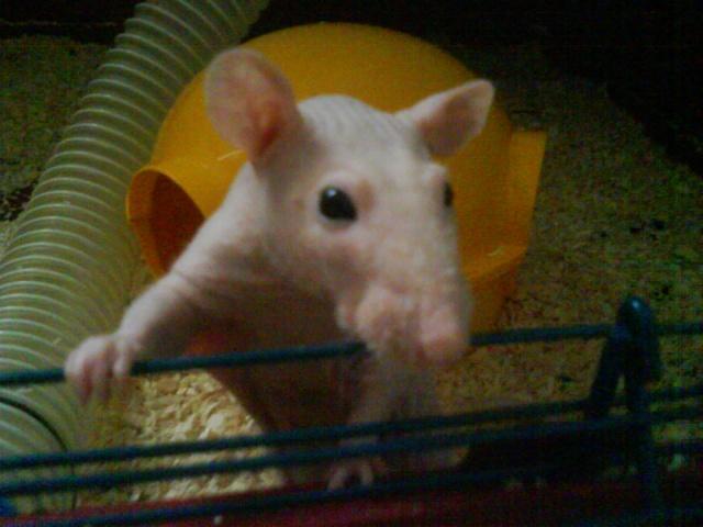 Alphonse X Pupuce (rats nus) Dsc00723