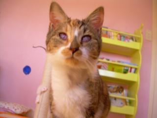 Cerise, chatte tricolore, aveugle - ADOPTÉE Cerise15