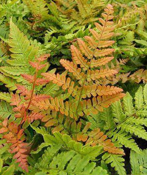 Dryopteris erythrosa, fougère rouge orangée! Dryopt10