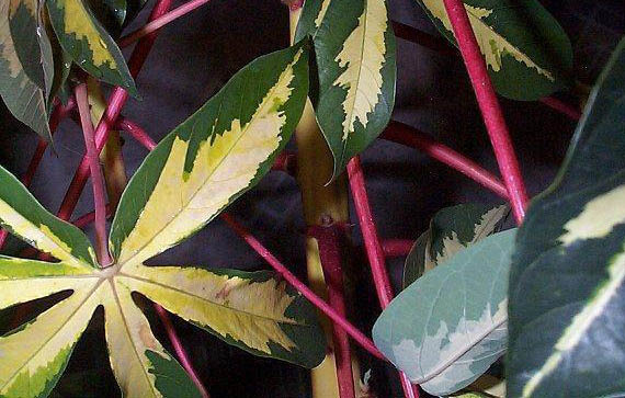 Manihot esculenta variegata Maniho10