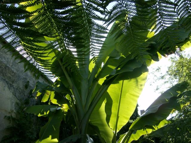 Musa basjoo variegata : le st Graal enfin trouvé  Photo104