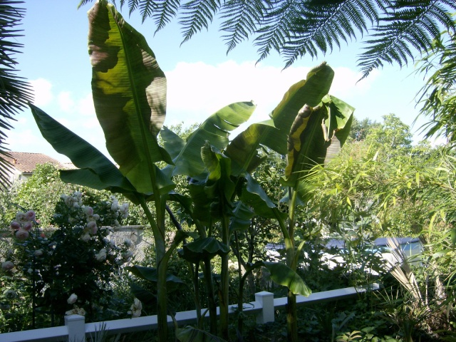 Musa basjoo variegata : le st Graal enfin trouvé  Photo105