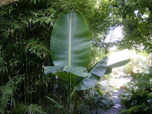Musa basjoo variegata : le st Graal enfin trouvé  Photo106