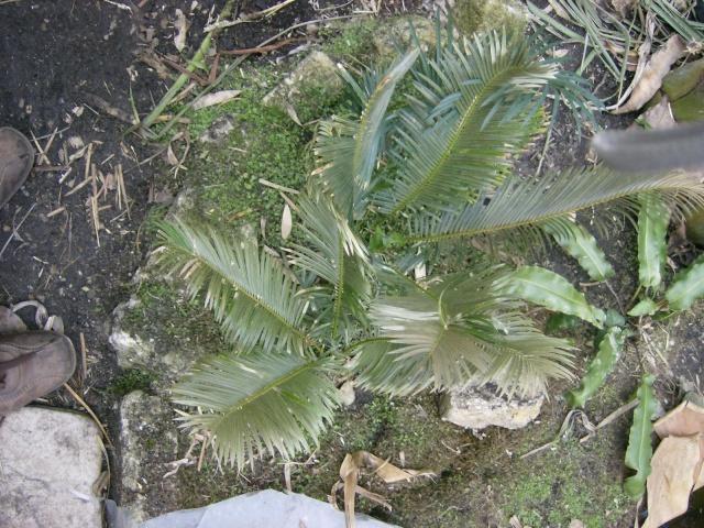 Bilan hiver 2011/2012 : les plantes  après cette vague de froid Photo_68
