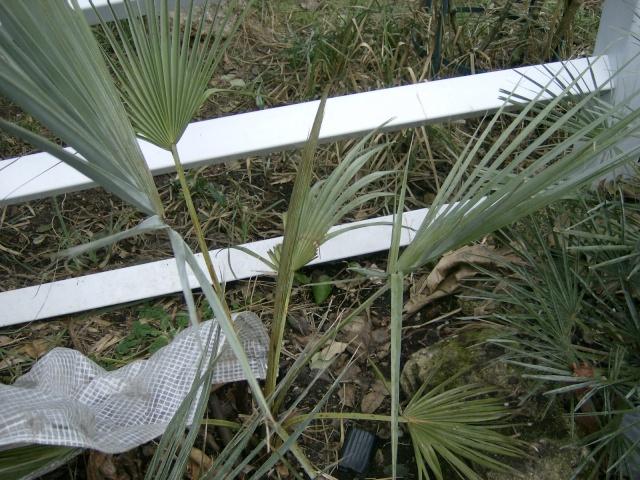 Bilan hiver 2011/2012 : les plantes  après cette vague de froid Photo_72