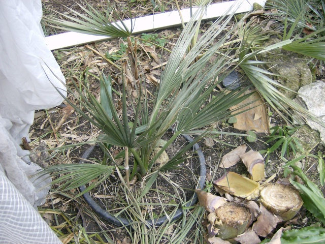 Bilan hiver 2011/2012 : les plantes  après cette vague de froid Photo_73