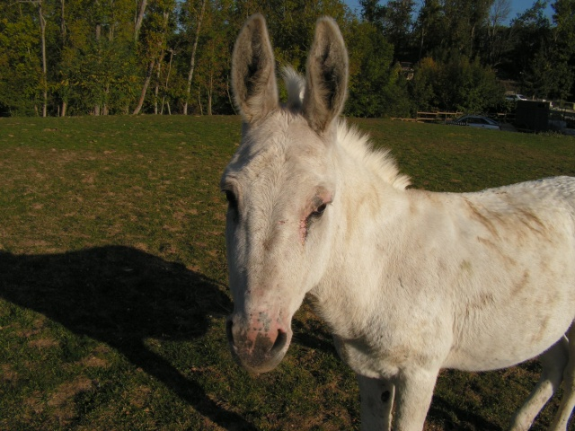 (77) Blanchot petit ane 10/12 ans [Lucayan] Pict0111