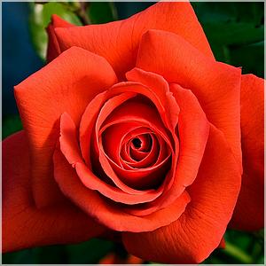 La fleur de Rose - Page 7 Rose_i10
