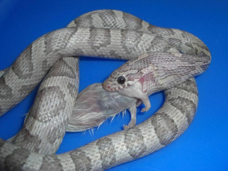 mes serpents Dak_0110