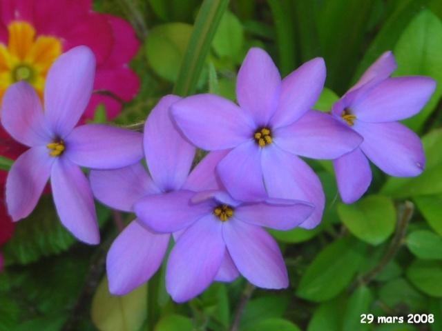 traçante à fleur bleue => Phlox stolonifera Fleurs10