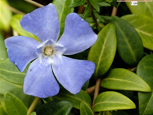 traçante à fleur bleue => Phlox stolonifera Vinca_10