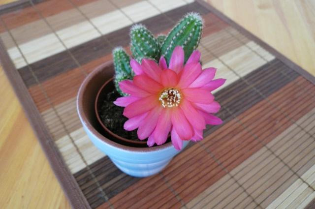 Lépiote ,j'ai un cactus qui a fleurit Cactus10