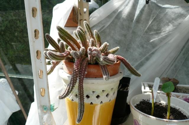 DISCOCACTUS FLAGELLIFORMIS Cactus13