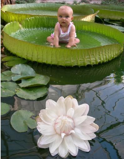 LOTUS ET NENUPHAR Lotus10