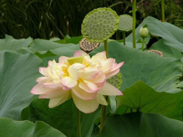 LOTUS ET NENUPHAR Lotus_10
