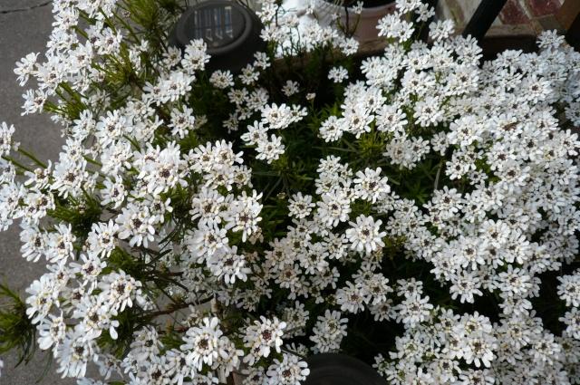 regardez mes belles fleurs P1010014