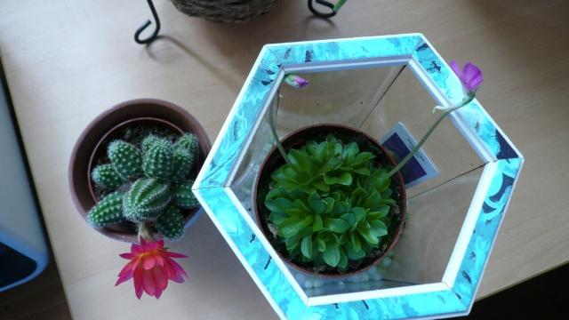 Lépiote ,j'ai un cactus qui a fleurit P1020014
