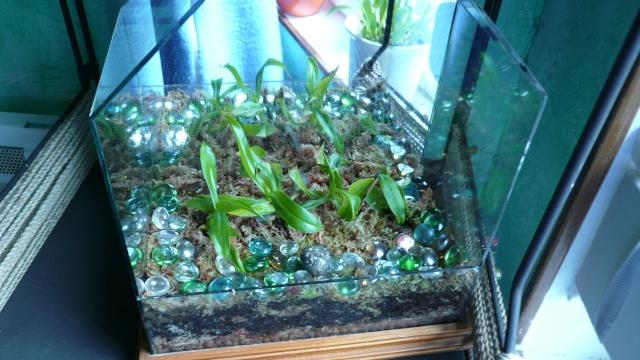 Lépiote ,j'ai un cactus qui a fleurit P1020015