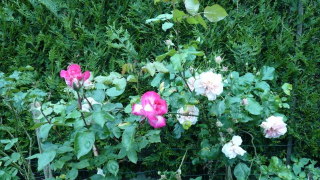 regardez mes belles fleurs P1020016
