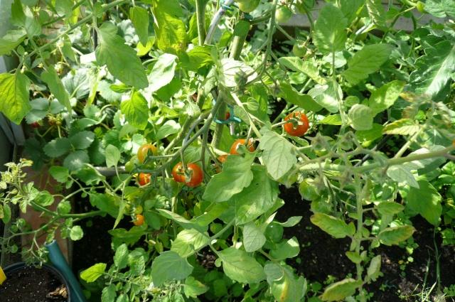 Midoux Midoux Midoux Midoux  ouh ouh ouh Tomate10