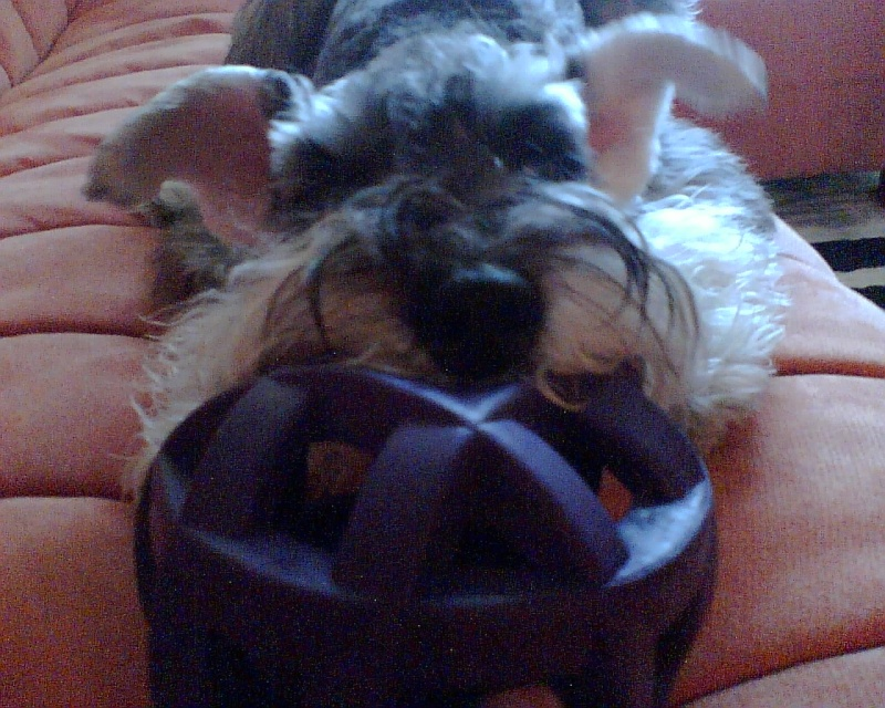 House of Miniature Schnauzers - Page 5 Image010