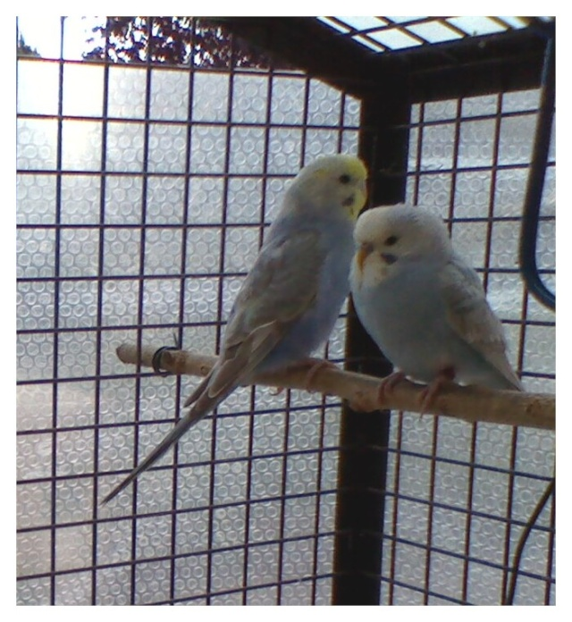Besoin d'aide pour Mutations (photos 28/11) Perruc11