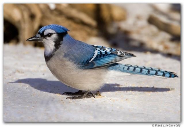 Le geai bleu Hti5b510