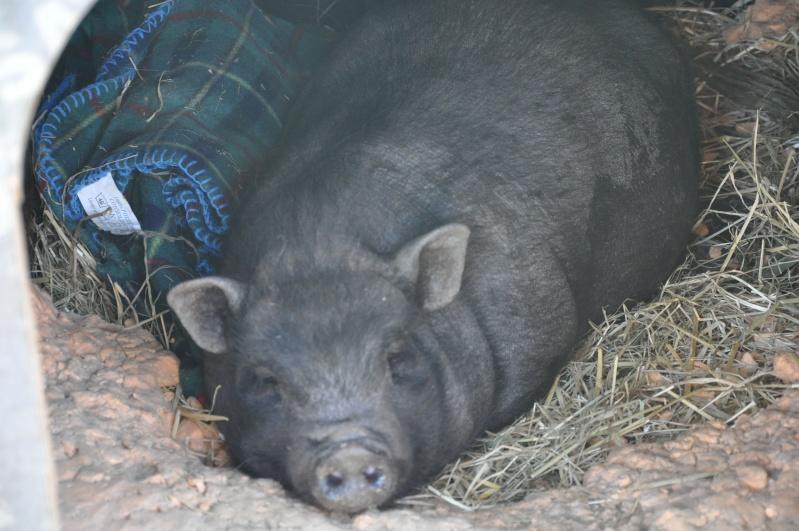 Cochon nain femelle trois ans (69) Dsc_0010