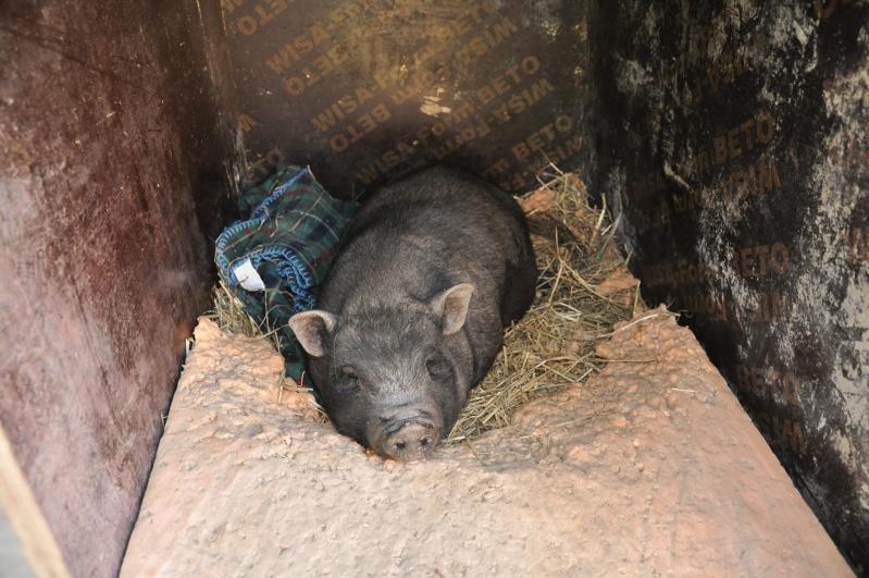 Cochon nain femelle trois ans (69) Dsc_0011
