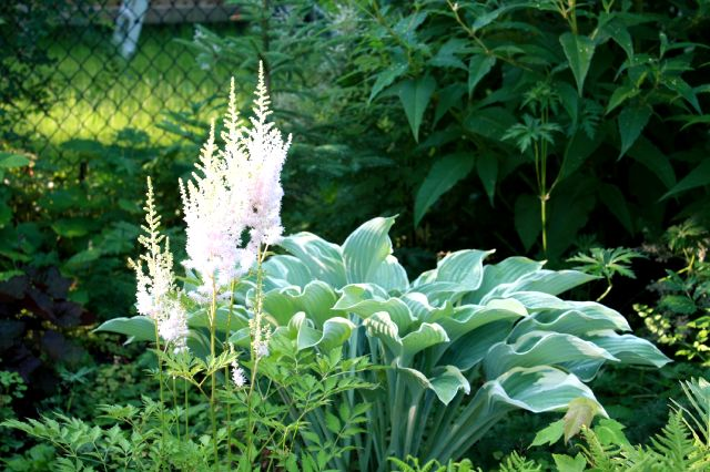 Astilbe chinensis Milk and Honey 800_as10