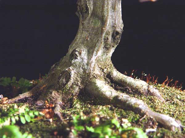 Show us your Carpinus species Hornbe12